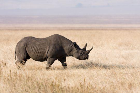 Ngorongoro_Spitzmaulnashorn_edit1
